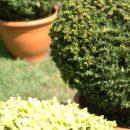 Bukszpany formowane wkształcie kuli