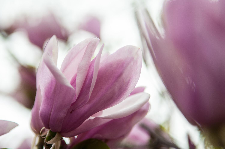 Magnolia-Soulangiana