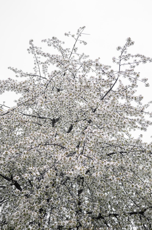 Grusza kwitnąca (2)