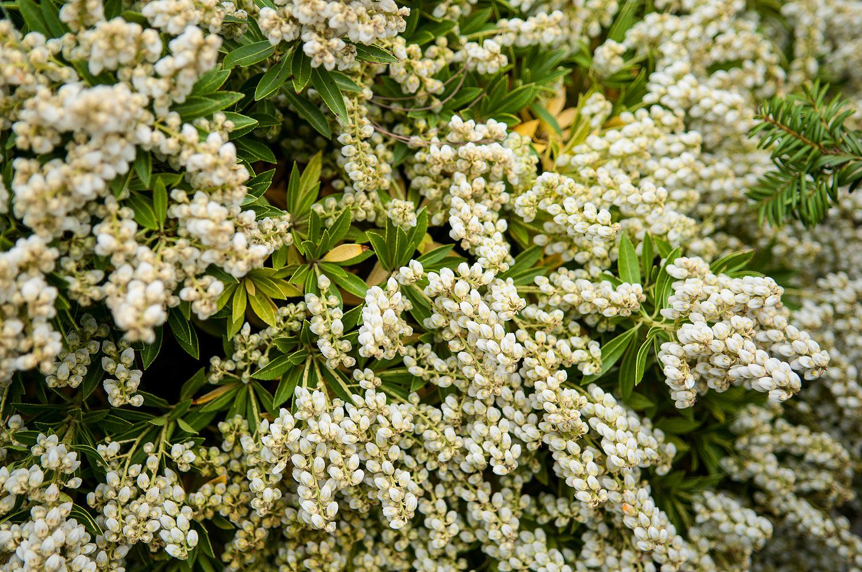 Pieris japoński - wiosenne kwitnienie (2)