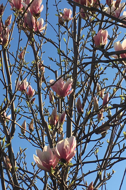 kwitnąca-magnolia