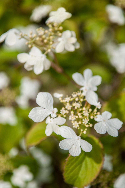 drzewo ozdobne- kalina podczas wiosennego kwitnienia